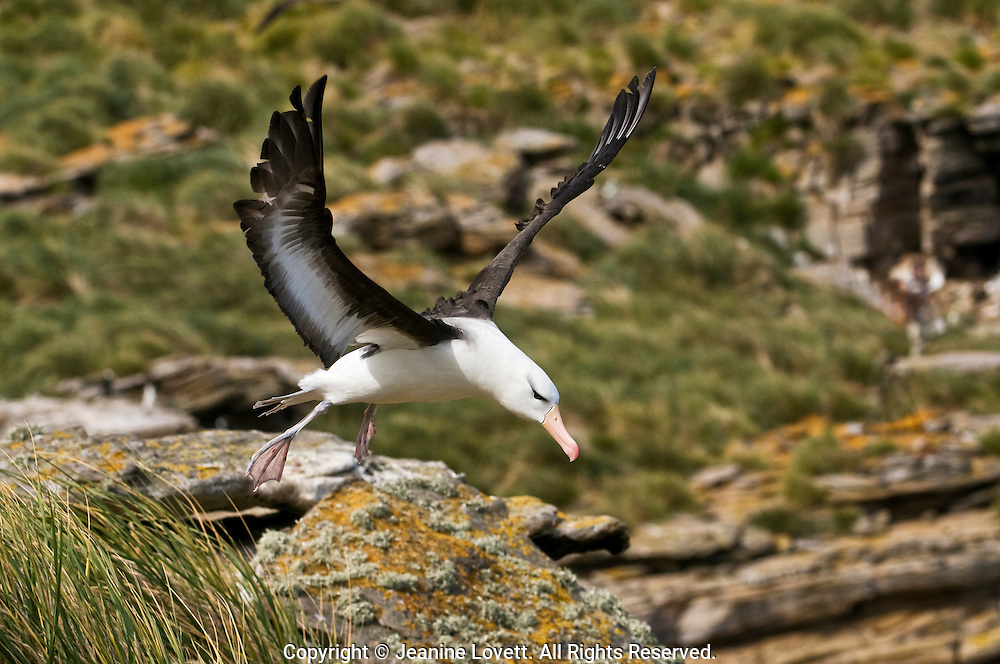 black browed albatross takes off with New Island, Falklands clifts in the back ground.