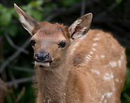 Elk calf portrait seems to show eagerness, with seeds clinging to the fur on its neck., probably from the invasive houndstongue, Cynoglossum officinale, adapted to spreading by clinging to mammal fur. Greater Yellowstone Ecosystem, © 2019 David A. Ponton