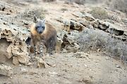 Brown hyena (Parahyaena brunnea oder Hyaena brunnea) adult outside their den, Tsau-ǁKhaeb-(Sperrgebiet)-Nationalpark, Namibia | Schabrackenhyäne (Parahyaena brunnea oder Hyaena brunnea), das 2-3 Jahre alte Tier besucht den Bau. Vermutlich gehört es zu dem Familienverband und ist ein Jungtier der vergangenen Jahre. Das ältere Schwestern bei der Aufzucht helfen ist häufig zu beobachten. Sperrgebiet National Park, Namibia
