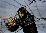 A worker harvests Vidal Blanc grapes at Hunt Country Vineyards in Branchport, N.Y., Monday, January 4, 2016. The harvest yields ice wine - a sweeter, heavier and because of the extra work to produce it, often pricier white table wine.  <br /> (AP Photo/Heather Ainsworth)