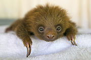 Hoffmann's Two-toed Sloth <br /> Choloepus hoffmanni<br /> Orphaned baby<br /> Aviarios Sloth Sanctuary, Costa Rica<br /> *Rescued and in rehabilitation program