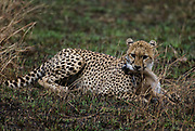 A Cheetah has caught a young Thomson gazelle. Maasai Mara, Kenya.