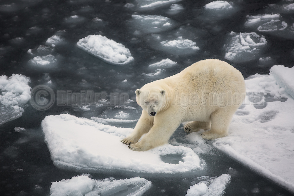 With two feets on each ice floe, this polar bear seem to be a bit uncomfortable | Med to føtter på hvert isflak, ser denne isbjørnen ut til å være litt ukomfortabel.