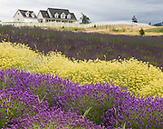Colorful yellow and purple flower fields grow at Purple Haze Lavender Farm. The Sequim Lavender Festival is held mid July on the Olympic Peninsula in Washington, USA. Lavender is a flowering plant in the mint family (Lamiaceae).