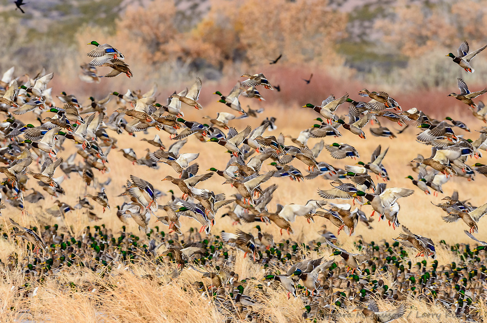 Mallard [Anas platyrhynchos] landing in mixed waterfowl flock; Bosque del Apache, New Mexico