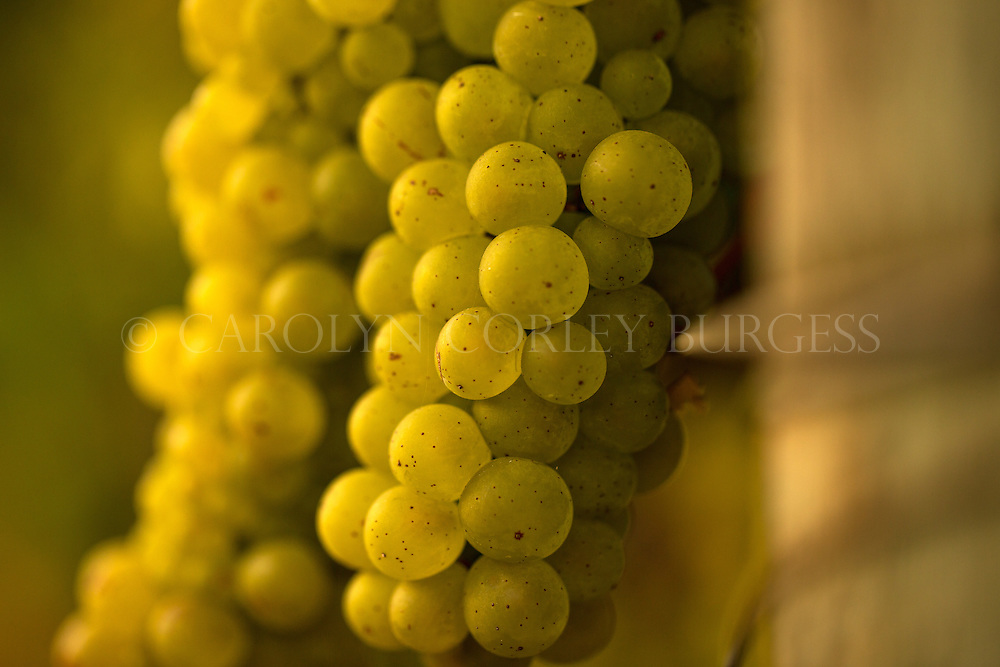Morning light on Chardonnay grapes