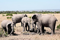 bunch of elephants playing with mud to protect them from heat and sun ,Elephantidae, in the bush of the masai reserve in kenya africa