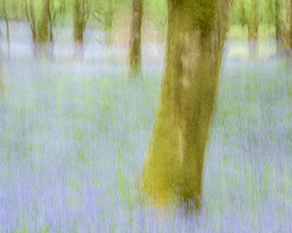Bluebell woods, blurry, Mull, Scotland