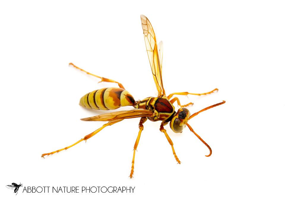 Paper Wasp (Polistes dorsalis californicus)<br /> CALIFORNIA: Kern Co.<br /> Stine Cove on Lake Isabella; near Porterville<br /> 10.June.2012<br /> J.C. Abbott #2600 &amp; K.K. Abbott