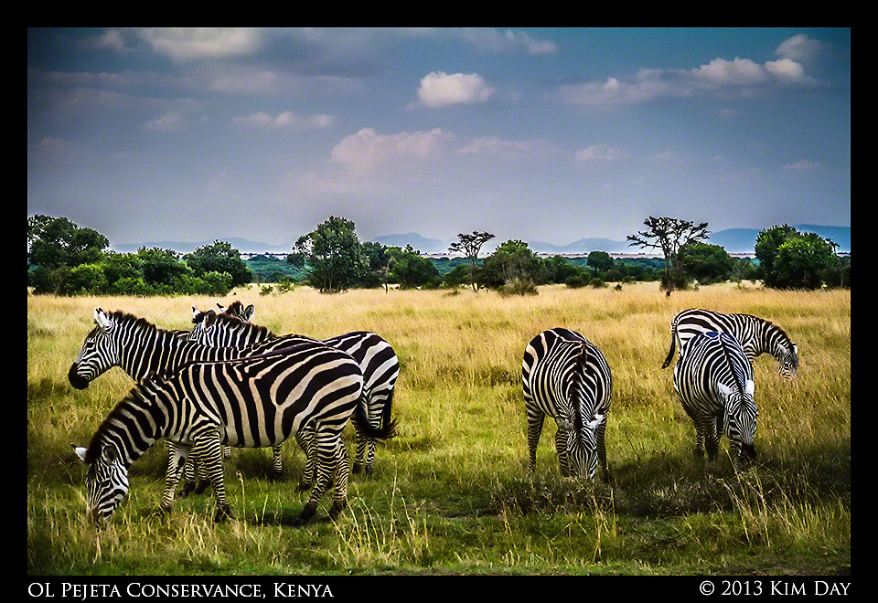 Grazing Zebra<br /> OL Pejeta Conservancy - Kenya<br /> September 2012