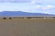 GOBI DESERT, MONGOLIA..08/26/2001.Bayangovi. Local Naadam festival. Start of a horse race over 30 kilometers..(Photo by Heimo Aga).