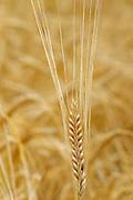 2 Row Barley closeup<br /> Yorkton<br /> Saskatchewan<br /> Canada