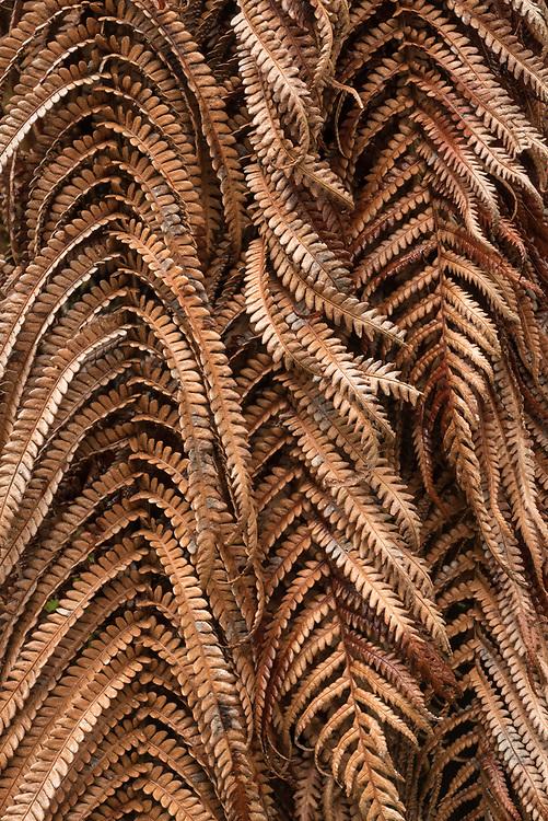 'Ama'u tree fern fronds; Hawaii Volcanoes National Park, Island of Hawaii.
