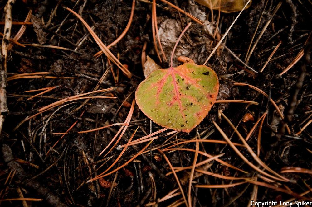 """Aspen Leaf 3"" - A newly fallen Aspen Leaf lies on some pine needles."