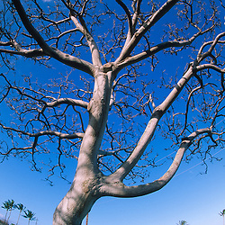 Tree at Lualoa Park, Oahu, Hawaii, US