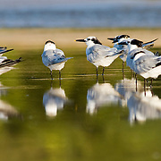 a group of two types of terns are reflected in the wet sand of the beach at the Tamarindo river estuary.