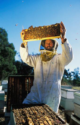beekeeper checks bees in hive in Santa Barbara california USA