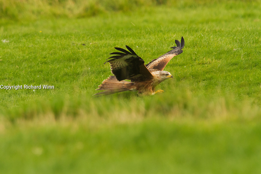 Red kite (Milvus milvus) swooping to collect meat from a field at the Gigrin Farm feeding station.