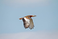 Great Bustard - Otis tarda - breeding male in flight