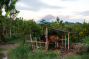 Cows and plantation, on the background the vulcano Gunung Batur, Bali Island