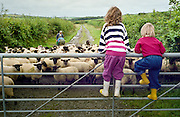 Children climb a gate to watch sheep during farm holiday in Devon, England