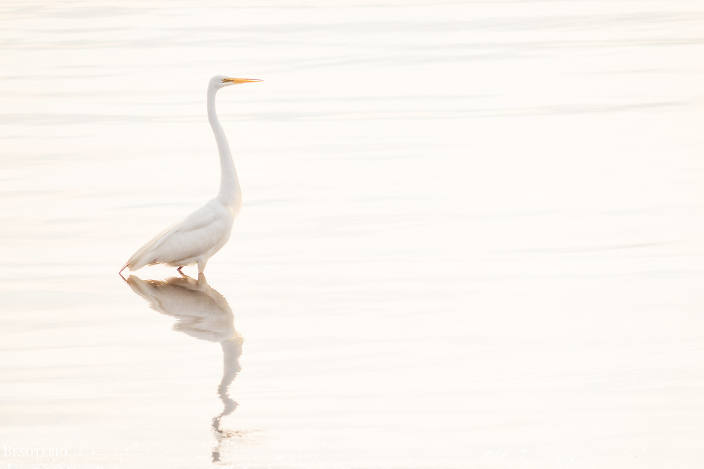 A white crane on the bay. <br /> <br /> Original Fine Art Print. Select Lustre finish only once in your cart.