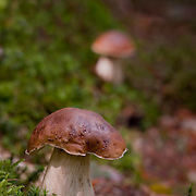 Penny Bun Mushroom in wood scenery. One mushroom out of focus in the back.