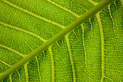Close-up of veins in a leaf