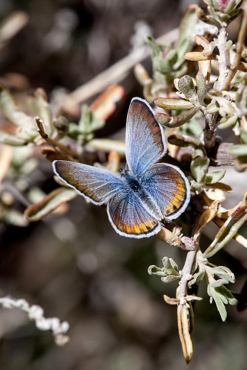 Plebulina emigdionis (San Emigdio Blue) at Los Padres NF, Kern Co, CA, USA, on Fourwing saltbush 09-May-15