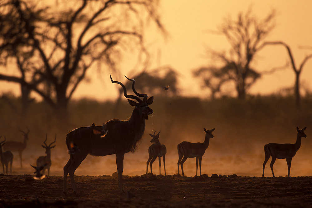 Botswana, Chobe National Park, Greater Kudu (Tragelaphus strepsiceros) and Impala herd at water hole in Savuti Marsh at dawn