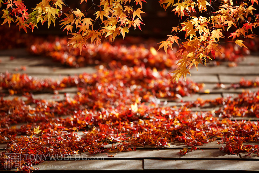 Fire-red momiji Japanese maple leaves on a rooftop underneath the momiji tree from which they dropped. Photographed at Kurama-dera in Kyoto.