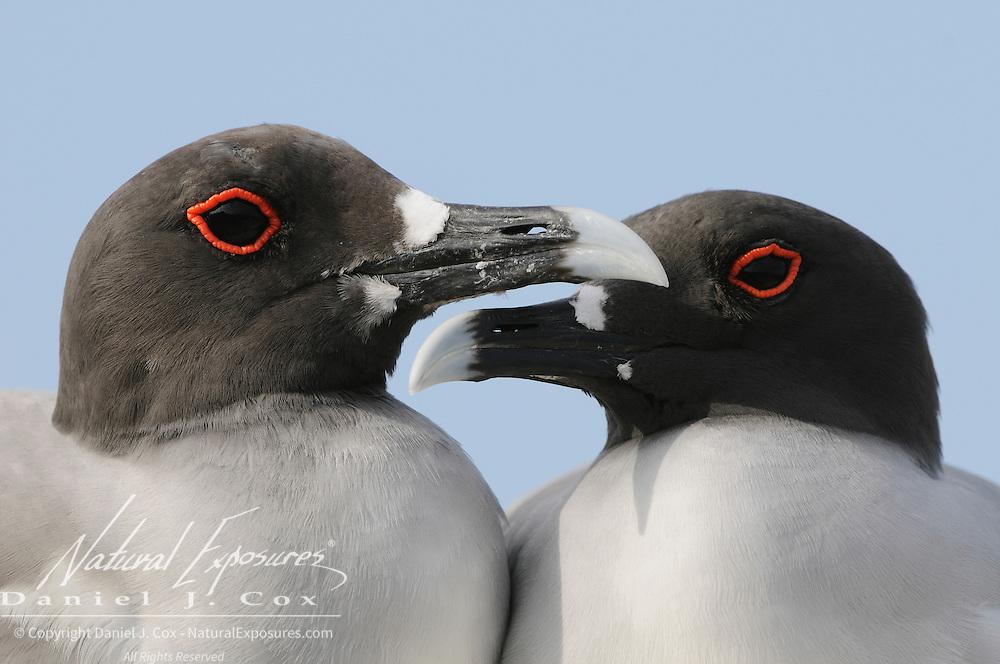Swallow-tailed Gull (Creagrus furcatus) pair. Plazas Island, Galapagos, Ecuador