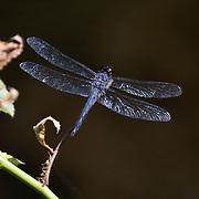 Slaty Skimmer, Libellula incesta, Dragonfly perched on twig