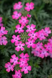 Verbena Enchantment Hot Pink