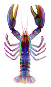 X-ray of an American Lobster (Homarus americanus)