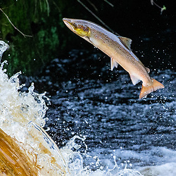 Salmon leap from the River Carron at the weir near Larbert