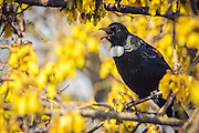 Taking a break from feeding on the golden flowers of the kowhai, a tui sings its melodious tune on a sunny spring day in New Zealand.