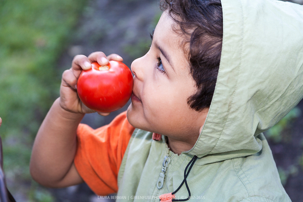 A young boy enjoys eating a tomato in a vegetable garden