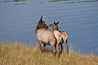Cow elk and her calf (Cervus elaphus)  during the autumn season.  Colorado.