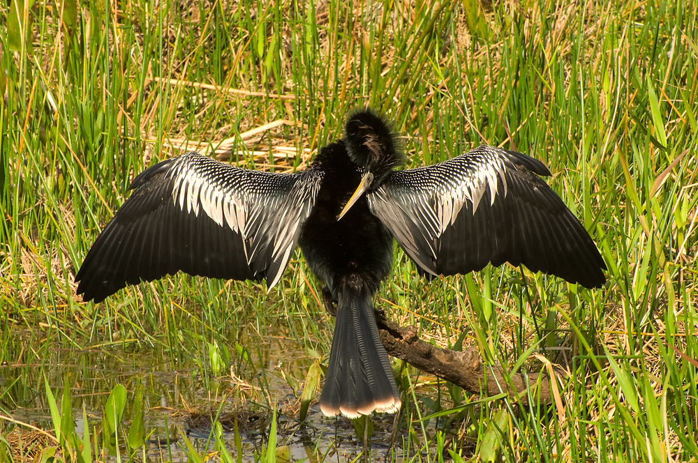 An adult male anhinga in breeding plumage drying his wings in the Florida Everglades near Homestead. Because anhingas don't have the oil glands found in other aquatic birds like ducks, gulls, swans, etc, when they come out of the water, they will need to dry their wings in order to fly. The advantage of not having this seeming important oil so essential to buoyancy is that when underwater, the anhinga becomes an extremely fast and agile swimmer and a very efficient fish hunter. Throughout the Gulf Coast, this is a very typical sight: an anhinga perched above water,  wings spread drying in the wind and heat.