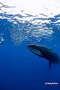 Bryde's whale, Balaenoptera brydei or Balaenoptera edeni, feeding on baitball of sardines, Sardinops sagax, off Baja California, Mexico ( Eastern Pacific Ocean )