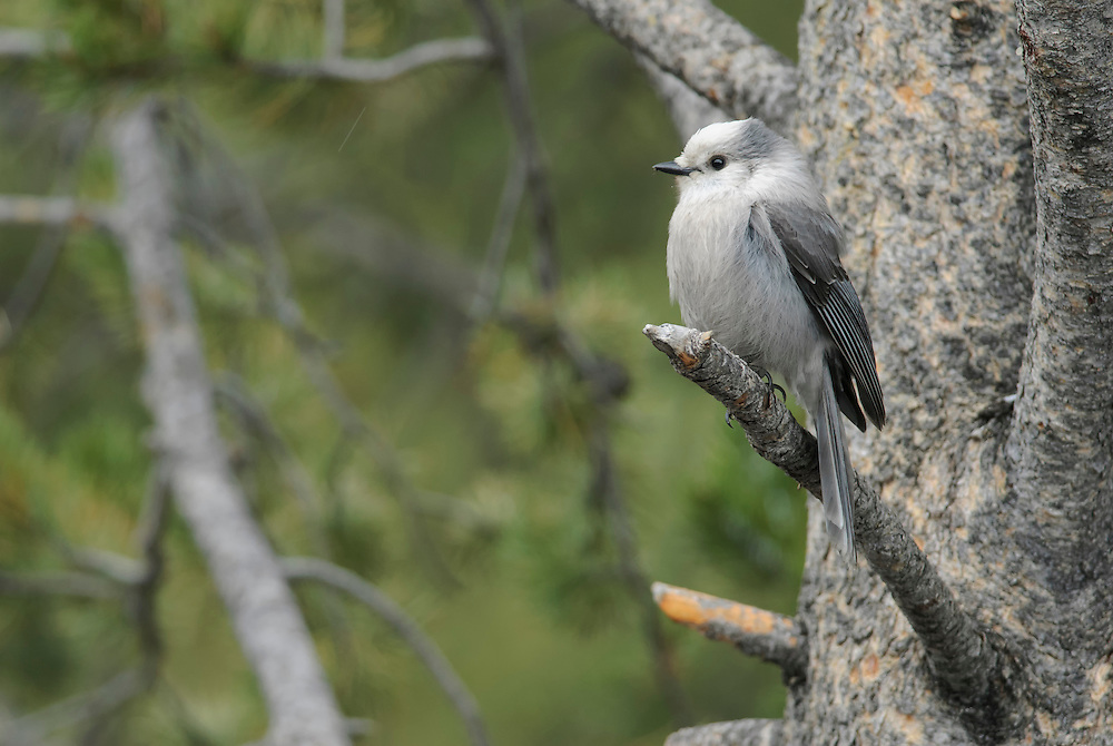 A Gray Jay (Perisoreus canadensis) perched on a Lodgepole Pine, Yellowstone National Park, Wyoming