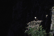 Bald Eagle<br /> Haliaeetus leucocephalus<br /> Katmai National Park, Alaska
