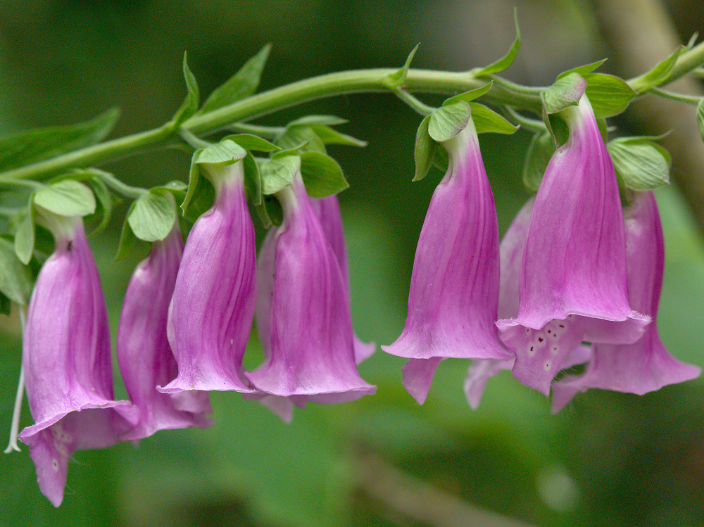 Foxglove, or Digitalis, is beautiful flowering plant that is commonly found throughout the Northwest, and popular as garden plant. Its beauty is decieving, however, as every part of the plant is extremely toxic, and capable of causing death if ingested. Enjoy, but at a respectful distance!