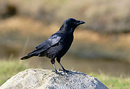 Carrion Crow - Corvus corone corone
