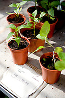 seedlings in small plant pots
