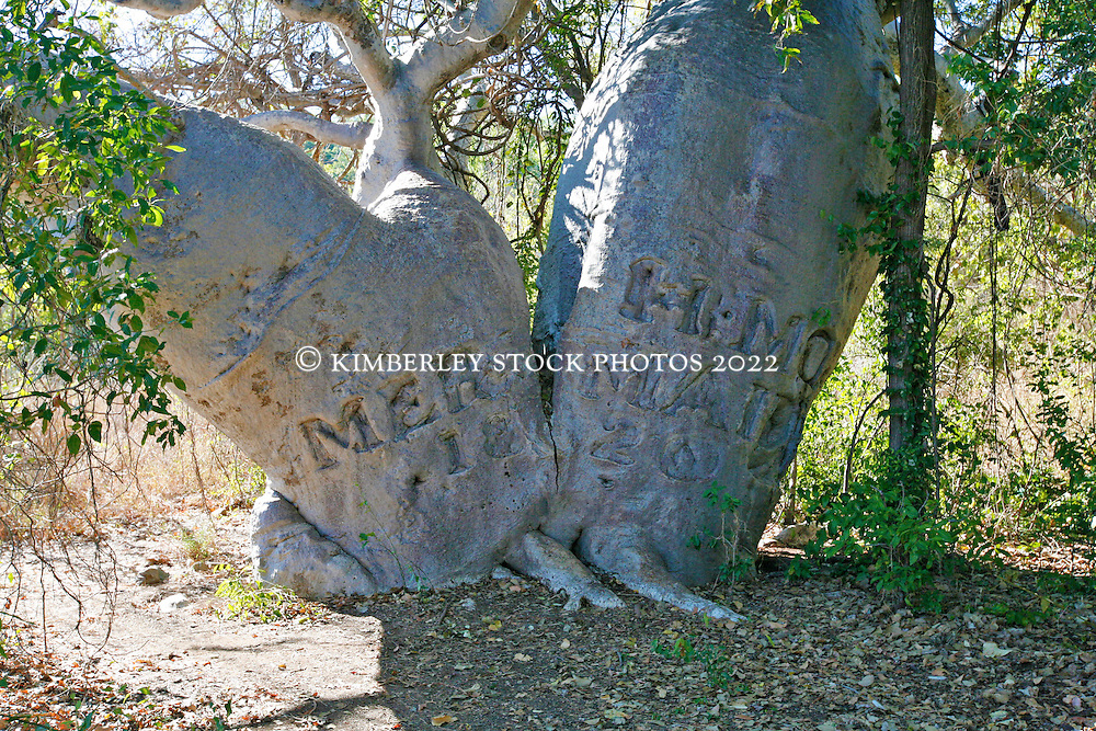 """The famous Mermaid Tree, carved in 1820, on Phillip Parker Kings' voyage around the Kimberley coast.  King's boat """"The Mermaid"""" was careened at Careening Bay."""