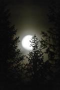 Full moon behind trees in the wood | Fullmåne bak trær i skogen.