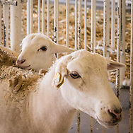 Baby lamb and mother in a pen at a fair.