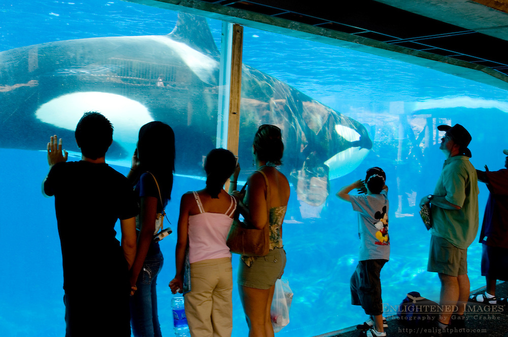 Tourist families watch Killer Whale (orcinus orca) swimming in pool at Sea World, near San Diego, California